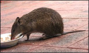 female bandicoot